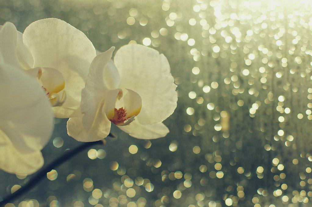 rain_and_sun_orchid